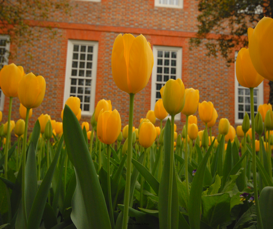 Tulips in Colonial Williamsburg. Tourist Mistakes in Colonial Williamsburg.